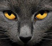 Olhos amarelos Imagens de Stock Royalty Free
