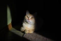 Olhos amarelos na luz Imagens de Stock Royalty Free