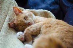 Olhos ambarinos da cor Gato vermelho e bonito Nica, Letónia foto de stock