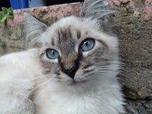 Olhos azuis do gato fotografia de stock
