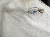 Olhos azuis louros da juba do cavalo branco do cremello Fotos de Stock Royalty Free