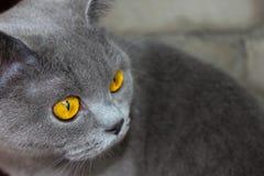 Olhos britânicos do ` s do gato Imagem de Stock