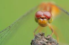 Olhos da libélula imagem de stock