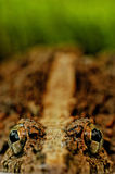 Olhos da râ Fotografia de Stock