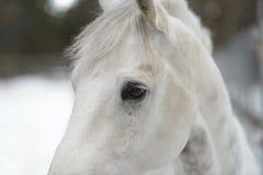 olhos de cavalo branco Fotografia de Stock