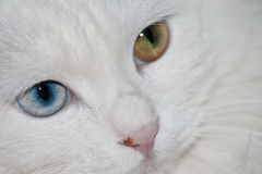 Olhos de gato Fotografia de Stock
