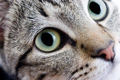 Olhos de gato Imagens de Stock Royalty Free
