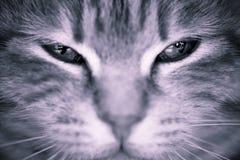 Olhos de gato Imagem de Stock