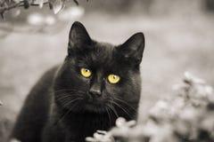 Olhos de gato preto Fotografia de Stock Royalty Free