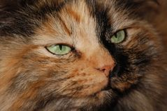 Olhos de gato verdes Fotografia de Stock Royalty Free
