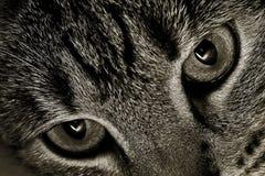 Olhos de gatos Fotos de Stock Royalty Free