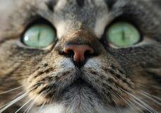 Olhos de gatos grandes Fotografia de Stock