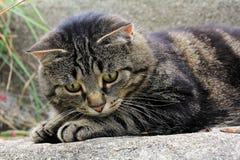 Olhos de gatos grandes Fotos de Stock Royalty Free