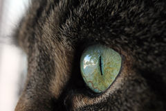 Olhos de gatos grandes Imagens de Stock