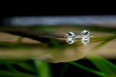 Olhos de peixes Quatro-Eyed que espreitam para fora da superfície da água Fotografia de Stock Royalty Free