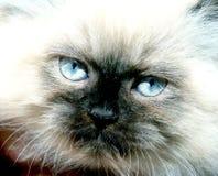 Olhos de um gato Fotografia de Stock