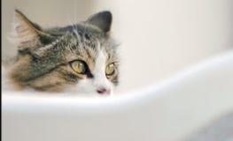 Olhos de um gato cinzento foto de stock royalty free