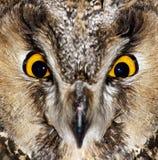 Olhos de uma coruja de águia 1 Imagens de Stock Royalty Free
