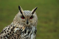 Olhos de uma coruja de águia Imagem de Stock Royalty Free