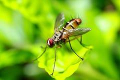 Olhos de uma mosca de fruta imagens de stock royalty free