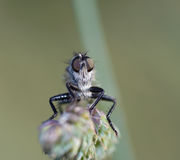 Olhos de uma mosca do pirata Imagem de Stock