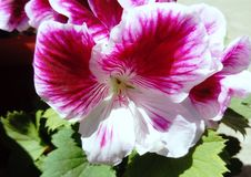 Olhos do anjo do Pelargonium bicolores imagens de stock royalty free