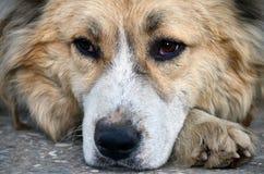 Olhos do cão Fotos de Stock