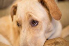 Olhos do cão imagem de stock royalty free