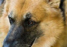 Olhos do cão Imagens de Stock