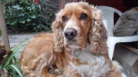 Olhos do cão imagens de stock royalty free