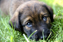 Olhos do cão de cachorrinho Foto de Stock