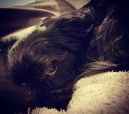 Olhos do cão de cachorrinho de meu Billy fotos de stock royalty free