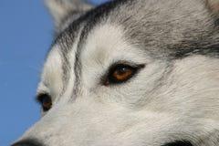 Olhos do cão de puxar trenós Foto de Stock Royalty Free