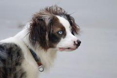 Olhos do cão do azul Imagens de Stock