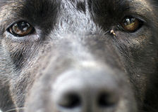 Olhos do cão preto Imagem de Stock Royalty Free