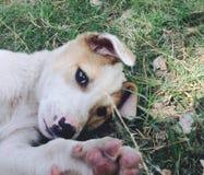 Olhos do cachorrinho Fotos de Stock