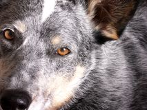 Olhos do filhote de cachorro Fotografia de Stock
