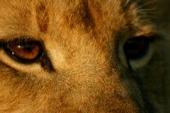 Olhos do leão Imagem de Stock