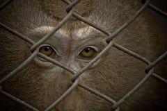 Olhos do macaco Fotos de Stock Royalty Free