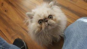 Olhos do marrom do gato persa e olhar fixamente pequeno sujo da cara imagens de stock