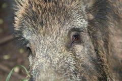 Olhos do porco Imagens de Stock Royalty Free