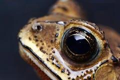 Olhos do sapo Foto de Stock