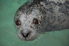 Olhos do selo de porto Imagens de Stock