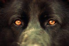 Olhos dos cães Imagem de Stock Royalty Free