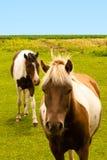 Olhos dos cavalos Fotografia de Stock Royalty Free
