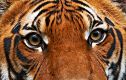 Olhos dos tigres Fotos de Stock Royalty Free