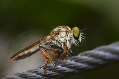 Olhos macro de Flys Foto de Stock