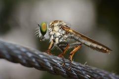 Olhos macro de Flys Imagem de Stock