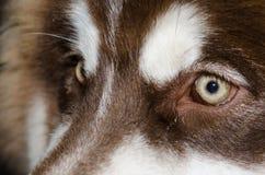Olhos marrons bonitos do cão que brilham a luz Imagens de Stock