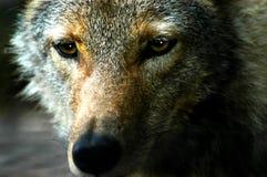 Olhos maus Imagem de Stock